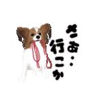 動く!パピヨン(個別スタンプ:18)