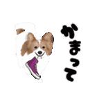 動く!パピヨン(個別スタンプ:20)