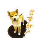 今日も柴犬といっしょ(個別スタンプ:6)
