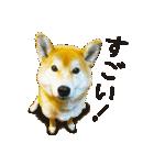 今日も柴犬といっしょ(個別スタンプ:7)