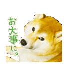 今日も柴犬といっしょ(個別スタンプ:12)