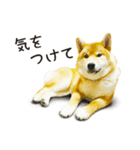 今日も柴犬といっしょ(個別スタンプ:13)