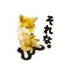 今日も柴犬といっしょ(個別スタンプ:16)