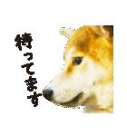 今日も柴犬といっしょ(個別スタンプ:20)