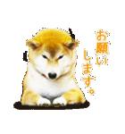 今日も柴犬といっしょ(個別スタンプ:21)