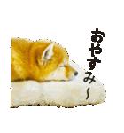今日も柴犬といっしょ(個別スタンプ:23)