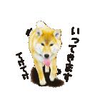 今日も柴犬といっしょ(個別スタンプ:24)