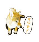 今日も柴犬といっしょ(個別スタンプ:29)