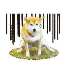 今日も柴犬といっしょ(個別スタンプ:39)