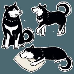 Every Day Dog Black Shiba