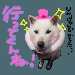 北海道犬 の凜ちゃん❁