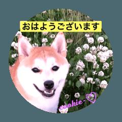 柴犬クッキー02