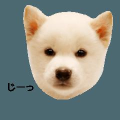 白柴犬の銀時