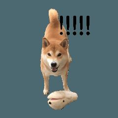 柴犬〜こてつ のんびり編〜