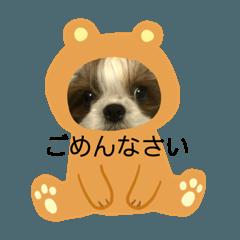 双子のシーズー犬  ユキチとマサオ(o^^o)