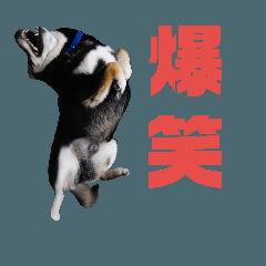 柴犬&秋田犬