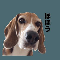 ビーグル犬チャーリー 3