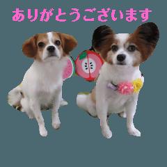 幸せパピヨン犬、ハナちゃんとナナちゃん♡