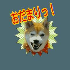 柴犬 くるみちゃん  No.21