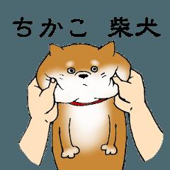 【ちかこ】の柴犬