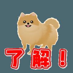 ポメラニアン犬のヒロ君です 3