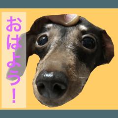 可愛い犬!ミニチュアダックスフンド!