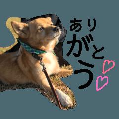 たぶち 柴犬mix