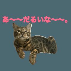 ベンガル猫ホリー君