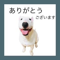 ばむの日常2(ミニチュアブルテリア)