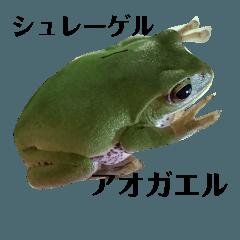 カエルのシュレーゲル