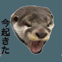 コツメ カワウソ