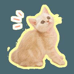 癒し仔猫♪ブリティッシュ
