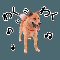柴犬のかわいい写真スタンプ