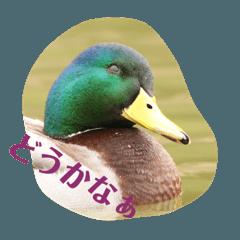 つぶやき鴨