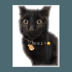 シャム猫のきなこと黒猫ニル
