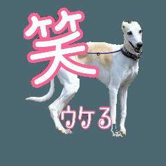 可愛いウィペット★でか文字