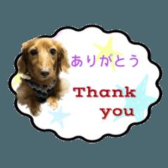 (実写)愛犬ダックスの日常編