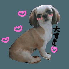 シーズー犬バニラちゃん