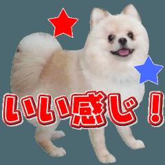 ポメラニアン犬のヒロ君です 2