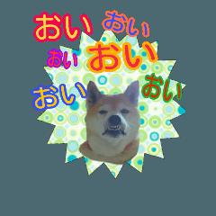 柴犬 くるみちゃん  15