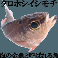 お魚図鑑『クロホシイシモチ』釣りでみる魚