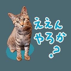 [LINEスタンプ] キジトラ猫 松阪弁Ver.