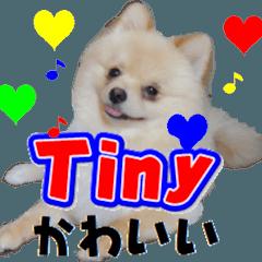 ポメラニアン犬のヒロ君です 英語Ver.1