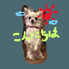 [LINEスタンプ] チワワの春ちゃん