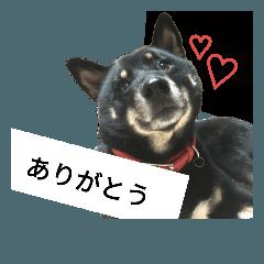 [LINEスタンプ] 黒柴チョーちゃん