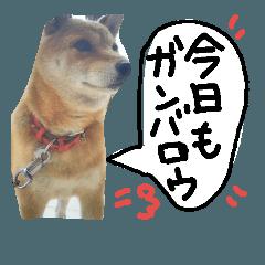 [LINEスタンプ] 愛犬はなちゃん(柴犬)のスタンプ
