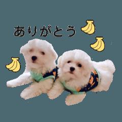 [LINEスタンプ] クウとカイ (マルチーズ兄弟)
